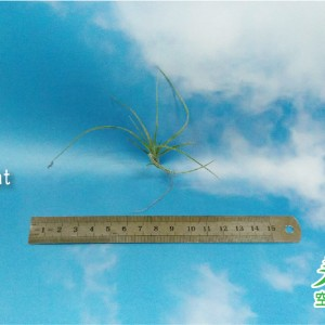 玩美空氣鳳梨專賣店 -T. Moonlight 三色月光