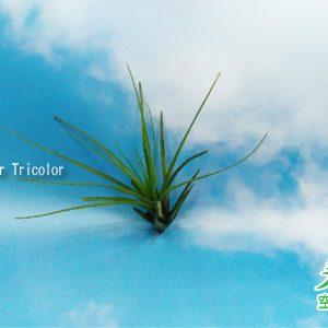 玩美空氣鳳梨專賣店 - T. melanocrater Tricolor 三色花