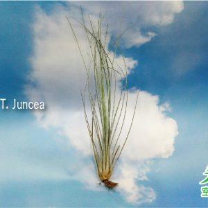 玩美空氣鳳梨專賣店 - T.Juncea大三色