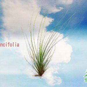 玩美空氣鳳梨專賣店 -T.Juncifolia 紅三色
