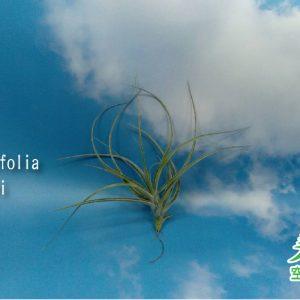 玩美空氣鳳梨專賣店 -T.Recurvifolia X Gardneri 薄紗