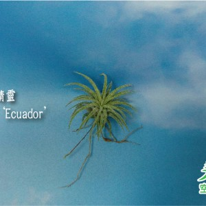 玩美空氣鳳梨專賣店 -T.ionantha 'Ecuador 厄瓜多爾小精靈