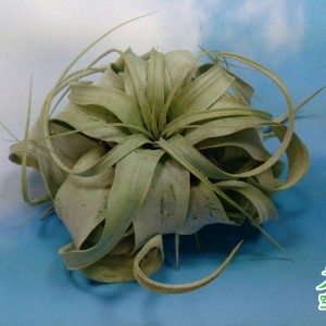 2019-8-20-七種空氣鳳梨_霸王 Tillandsia xerographica (medium)